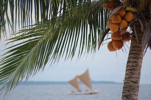 kokosowa palma